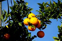 Naranjos en Peralada.