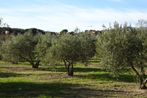 Campos de oliveras.