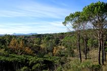 Bosque de pino blanco i brotes de romero.