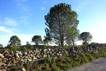 Muros de piedra seca y pino blanco.