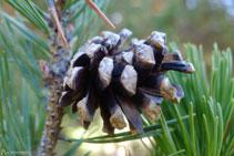 El pino negro es el árbol característico de esta zona.