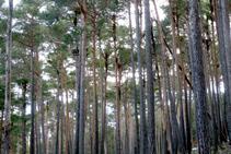 Majestuosa pinar de pino rojo.