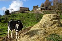 Vaca Frisona en el Mas Lladré.