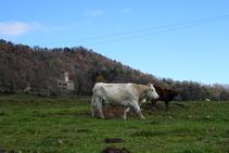 Vacas pastando en el Pla de Capdevila.