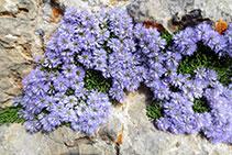 Globularia menor o de roca (<i>Globularia cordifolia</i>).