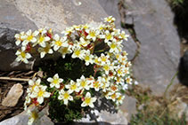 Arrocillo de los muros (<i>Sedum brevifolium</i>).