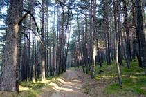 Bosque de coníferas de Sant Joan.