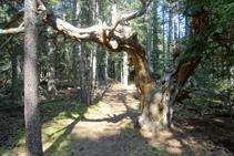 Árboles viejos en el bosque de la Culla.