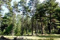 Bosque de pino rojo.