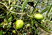 Olivera, árbol conreado y muy presente en la zona.