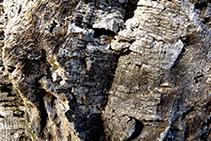 Escorza de alcornoque (árbol conocido popularmente en la zona como <i>suro</i>).