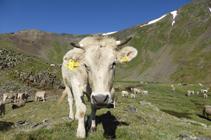 Vacas pastando en el circo de los Meners.