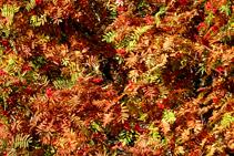 Hojas de serbal de cazadores, en pleno otoño.