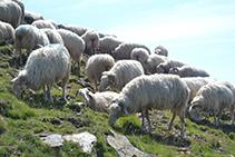 Rebaño de ovejas.