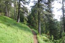 Bosque de pino negro.