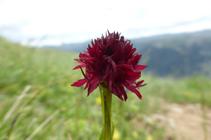 Nigritela negra, una orquídia típica de los pastos, de floración estival.