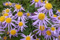 <i>Aster alpinus</i>, una bonita flor típica de los prados de sustrato calcáreo.