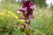 Orquídea manchada, otra especie típica de los prados.