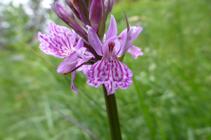 Satirión manchado, otra orquídea que podemos encontrar durante el recorrido.