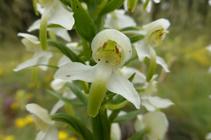 El satirión blanco, una bonita orquídea de flores con olor a vainilla.