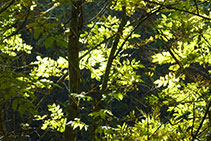 Detalle de hojas de fresnos.