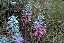 Lechetrezna o euforbio mediterráneo (<i>Euphorbia characias</i>).