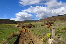 Seguimos por un camino que se dirige al noroeste. Atención con las vacas; es necesario no molestarlas.