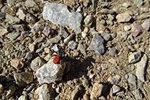 Araña moteada saltadora (<i>Eresus cinnaberinus</i>).