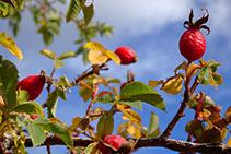 Escaramujos o rosas caninas, los frutos del rosal silvestre.