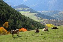 Vacas solazándose en el prado por el que bajaremos a continuación.