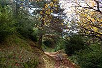 Entramos en el bosque de pino silvestre con boj y nogales plantados y asilvestrados.
