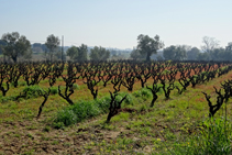 Cultivos de viñedo en Calonge.