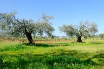 Campos de olivos y viñedo.