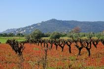 Calonge y el cultivo del viñedo.