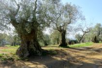 Olivos en Mas Ribot.