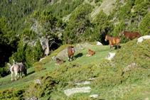 Grupo de caballos descansando en un pequeño claro entre enebros y pinos negros.