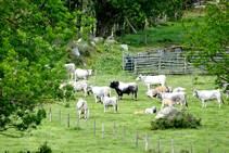 Rebaño de vacas en los pastos de Can Barris.