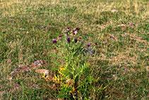 Cardo mariano, típico de vegetación subalpina.