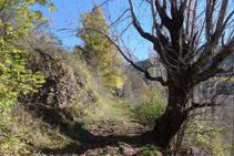 Durante el itinerario nos encontramos robles, olmos, alnos, arces,... y otras especies típicas de la vegetación de media montaña.