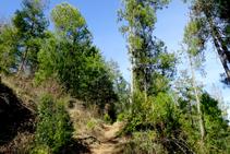 Bosques de pino en la Alzina.
