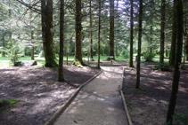 Bosque de avetos.