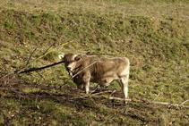 Vacas pasturando en los prados cercanos a Vallfogona.