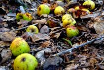 Manzanas maduras en el camino.