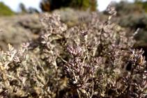 El tomillo resiste las áridas condiciones de la sierra Seca y perfuma el aire que respiramos.