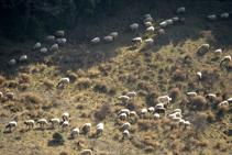 Rebaño de ovejas desplazándose.