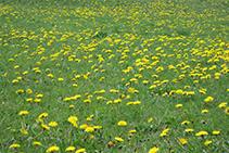 Espectacular alfombra amarilla de diente de león (<i>Taraxacumofficinalis</i>) y de achicoria (<i>Taraxacumpyrenaicum</i>).