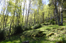 Bosques de abedules en la fuente Freda.