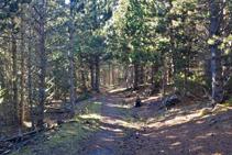 El espeso bosque de pino negro del Forcat.