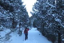 Subiendo por un bonito bosque de pino negro.