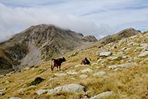 Vacas pasturando en los prados alpinos cercanos a la cresta fronteriza con Andorra.
